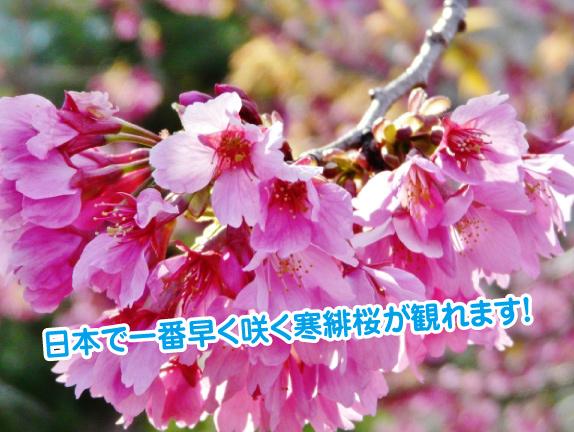 kanhi-zakura