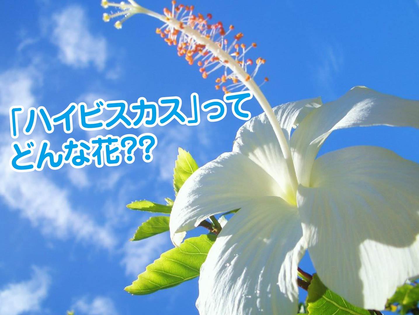 ハイビスカスの花-01